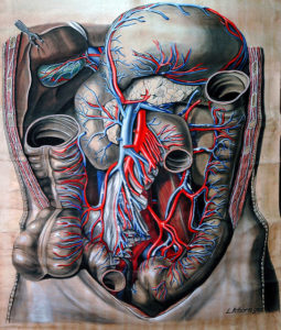 anatomical drawing of gut